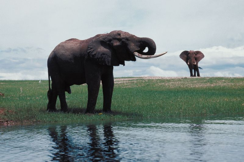 Elephants and Giraffe Swim the Pee Dee