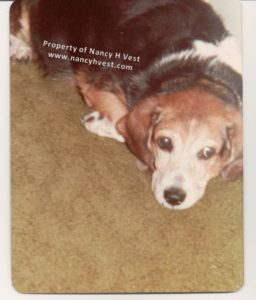 photo of a tri-colored cocker-beagle dog lying on a gray-green carpet, mostly a facial photo.