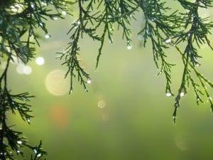 Dewy Pine needles
