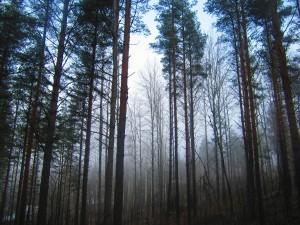 Pine Misty forest
