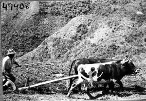 Farmer with two cows public domain