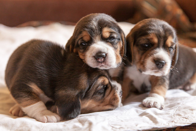 color photo of 3 young beagle pups