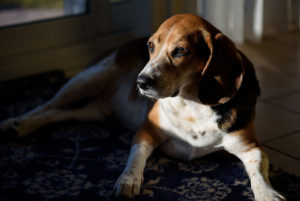 Photo of a beagle sitting in the sunlight