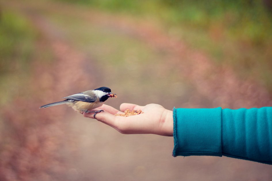 color photo of a bird eating from someone's hand. Bird is chickadee-sized and colors are: black, white, brown, and gray.
