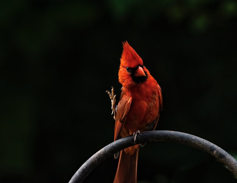 color photo of an adult male cardinal perched on a metal pipe with one feet sticking up in the air