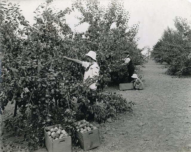 B&W of girl picking apples in an Oregon orchard in 1920. She wears white clothes and a white hat.