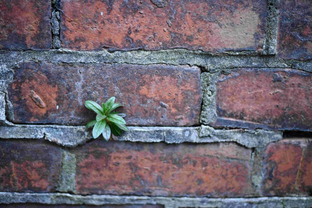 Brick wall with a small green plant growing between the bricks